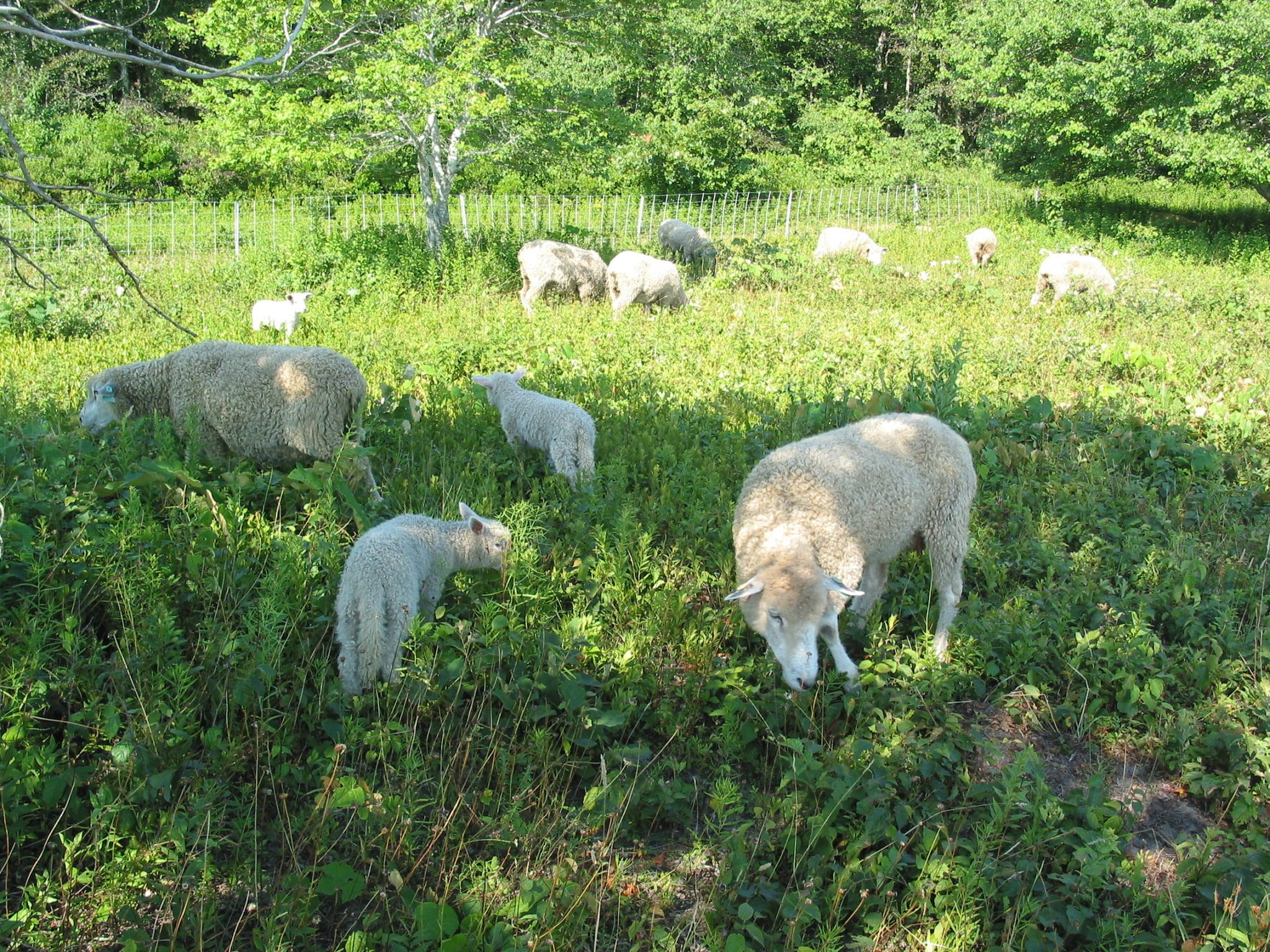 Aug 3 2005 sheep1