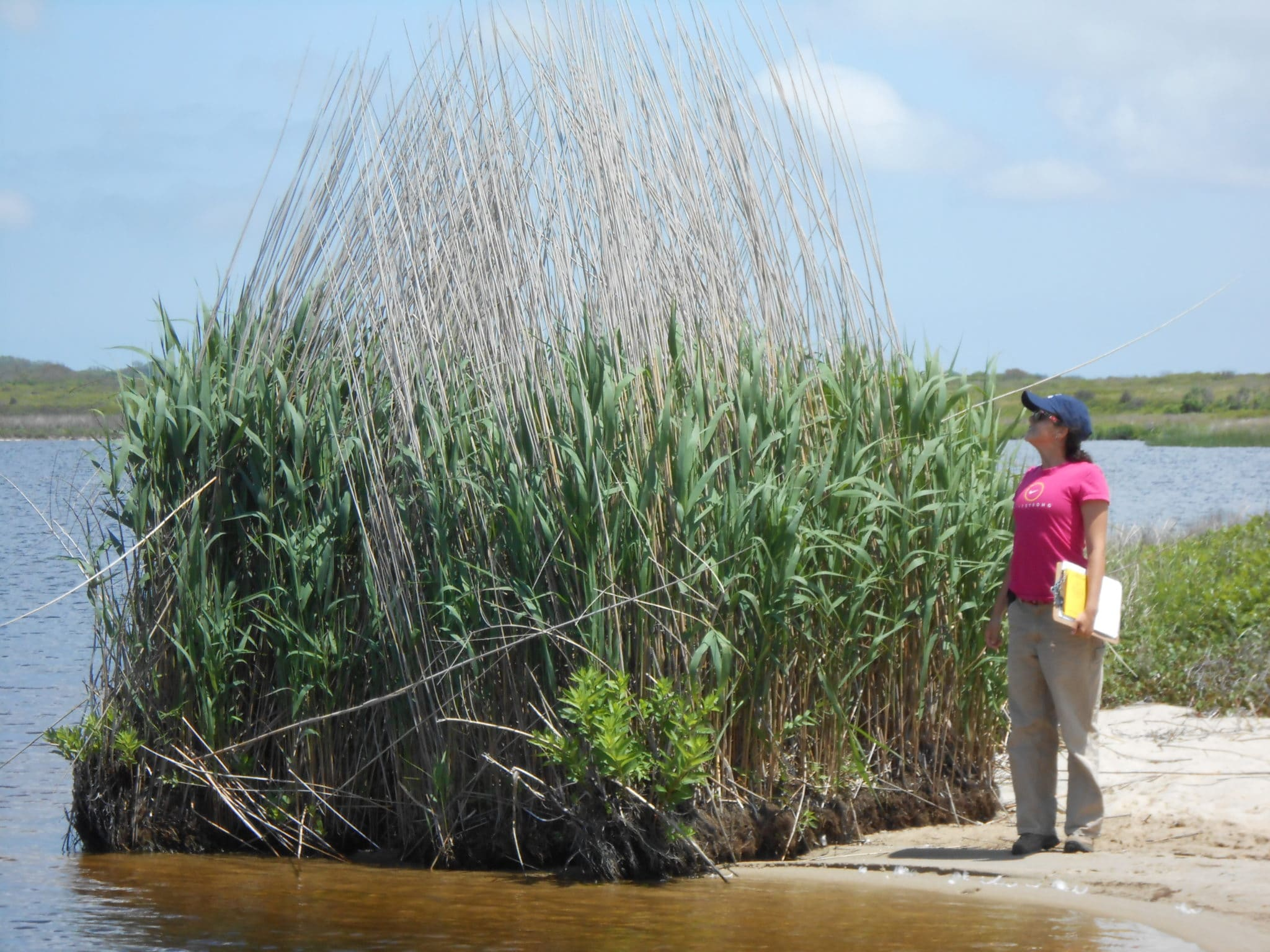 """NCF Field Assistant Emily West, surveying a """"raft"""" of Common Reed at the south shore of West Hummock Pond, Head of the Plains, 2012."""