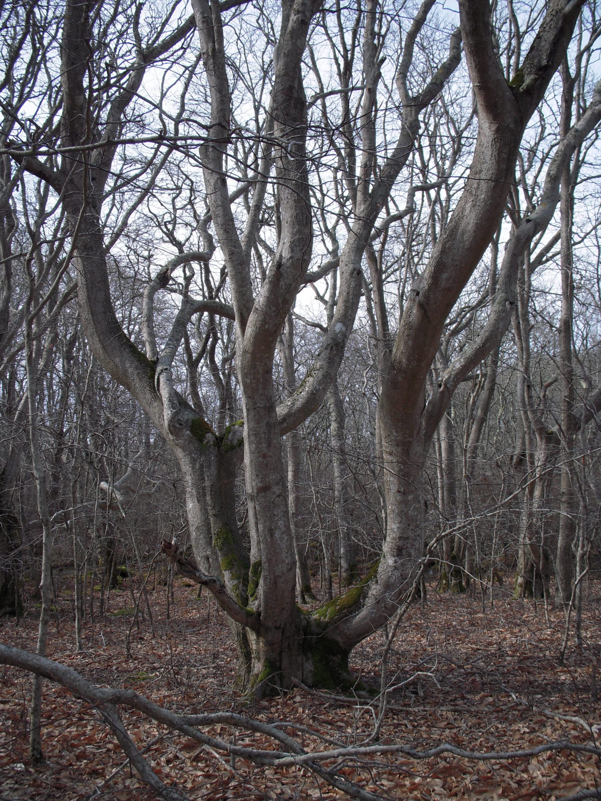 A large beech (Fagus grandifolia) at Squam, with the typical island shape to withstand our windy conditions.
