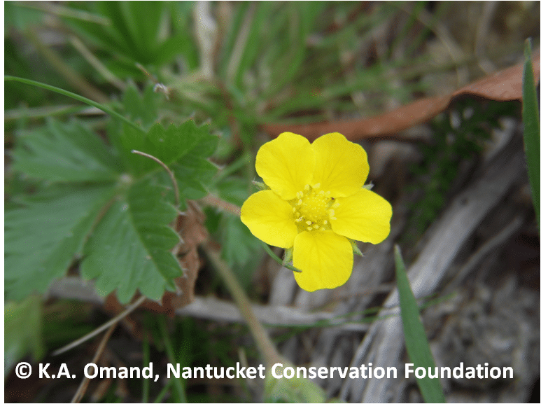 Canada cinquefoil (Potentilla canadensis) growing along trail edges and in fields and sandplain grasslands.