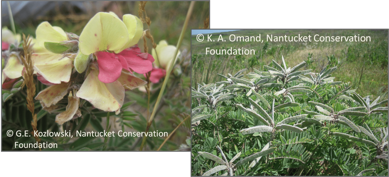 Goat's rue (Tephrosia viginiana) flowers at left, and seed pods on plants that were burned just a few months before.