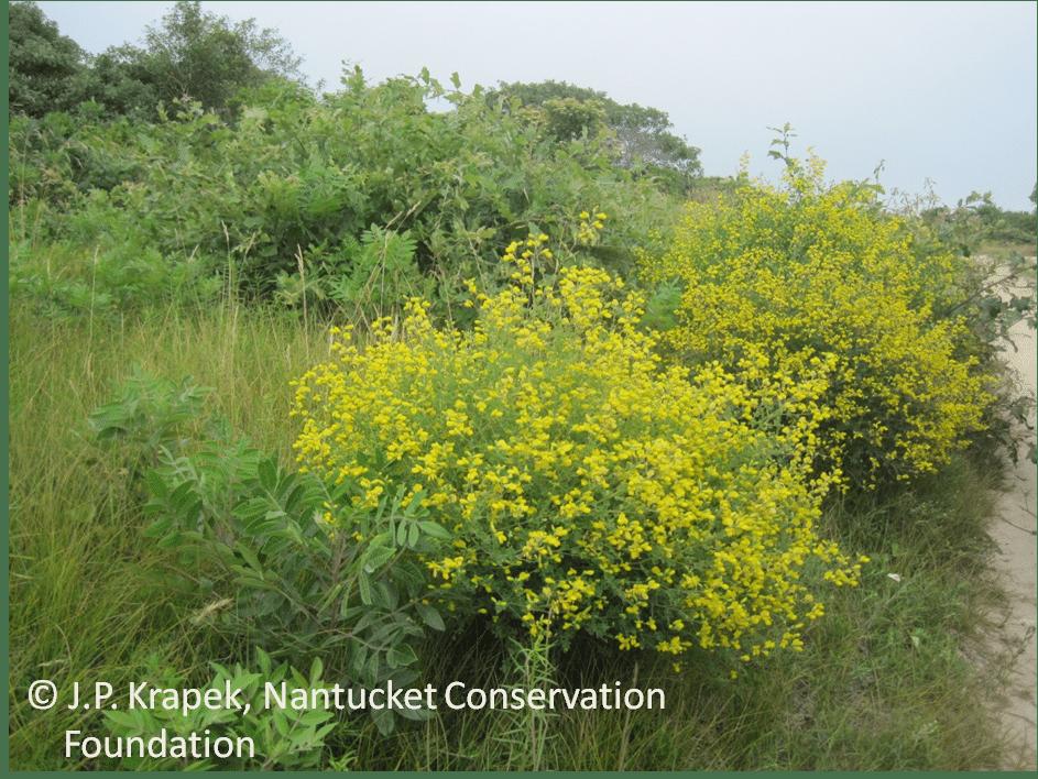 Yellow wild indigo (Baptisia tinctoria) in full bloom along a roadside in the Middle Moors.