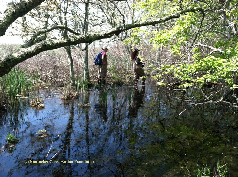"Cyndi Parks and Iris Clearwater, NCF's seasonal field assistants, work to relocate ""Waldo"" in his red maple pool on the edge of the Medouie Creek marsh."