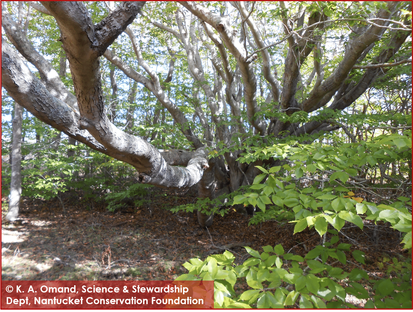 Ganesh extends a trunk out over a vernal pool to maximize its sun exposure while remaining short.