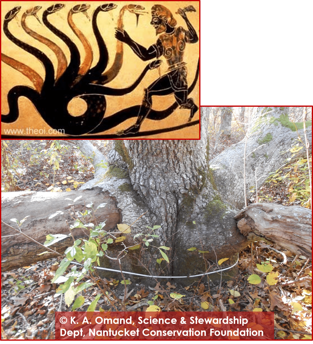 Black oak base and namesake from Greek mythology, Hydra.
