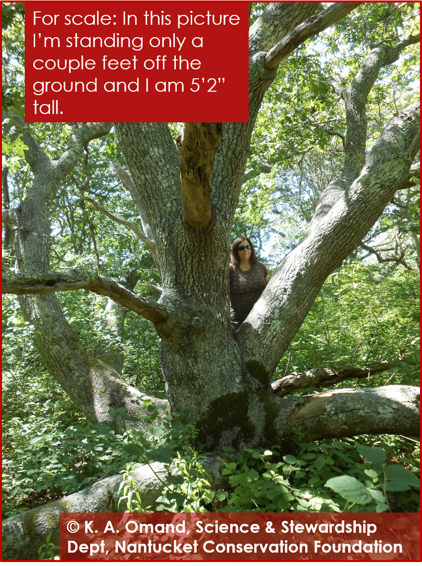 Very large black oak, with 6 main trunks, each greater than 8 inches dbh.
