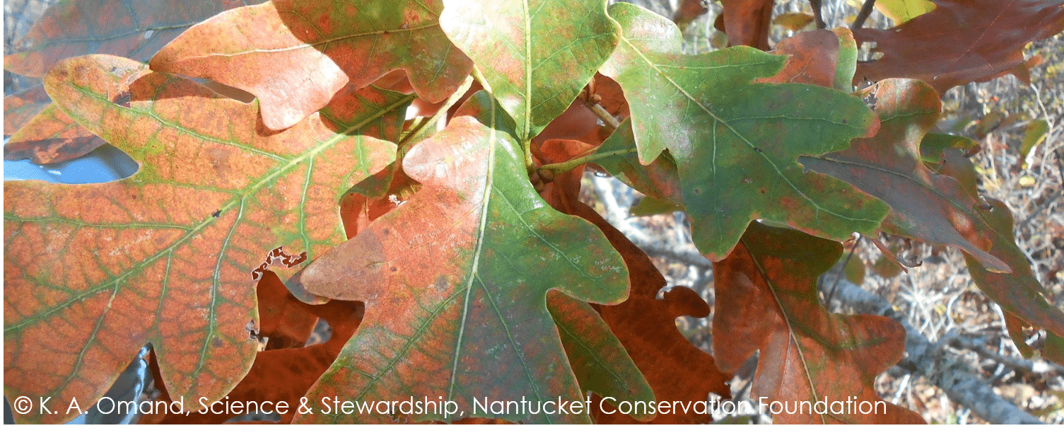 "Leaves of the large, prostrate growing white oak (Quercus alba) nicknamed ""Titania"""