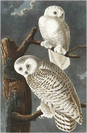 John James Audubon's Snowy Owls
