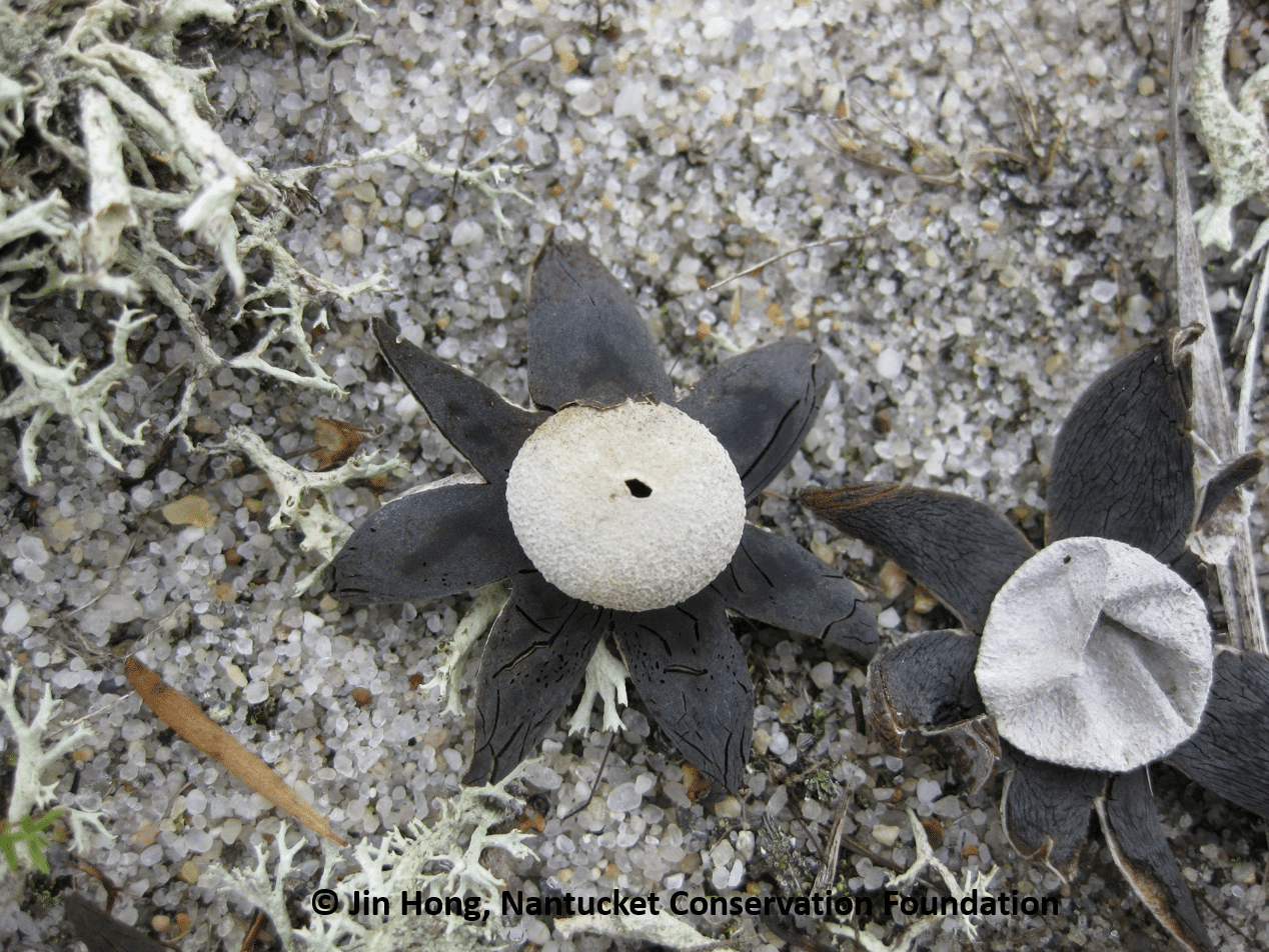 Can you name these unusual fungi often found in moors and dunes on Nantucket in winter?