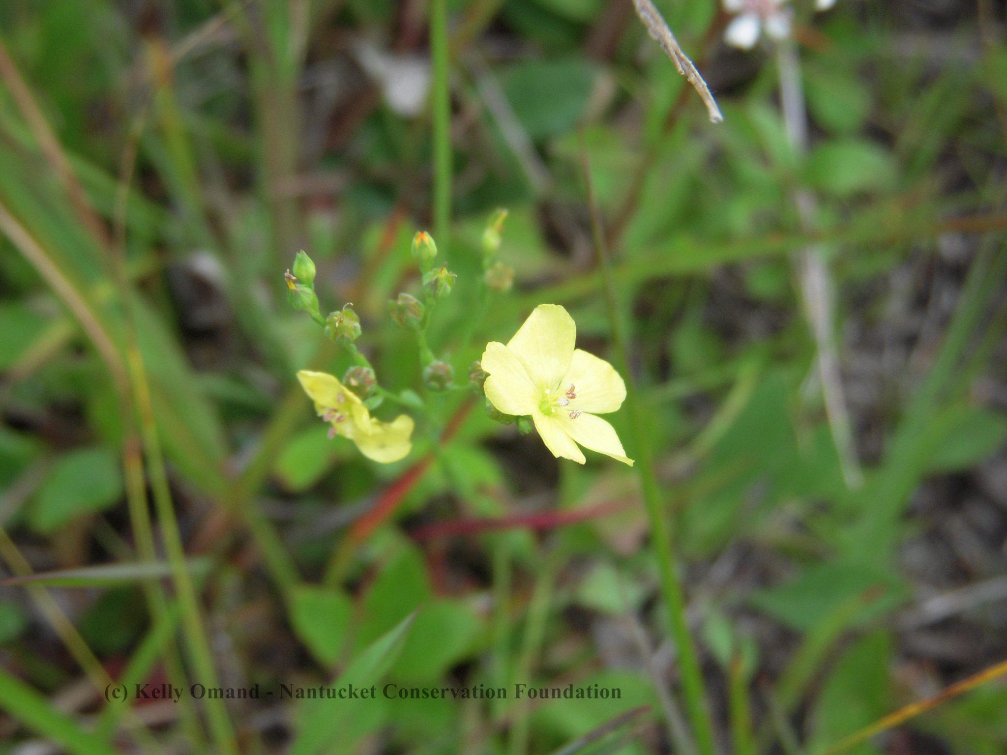 Linum intercursum in flower.
