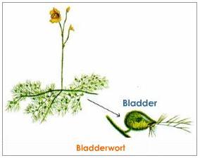 bladderwort-or-utricularia