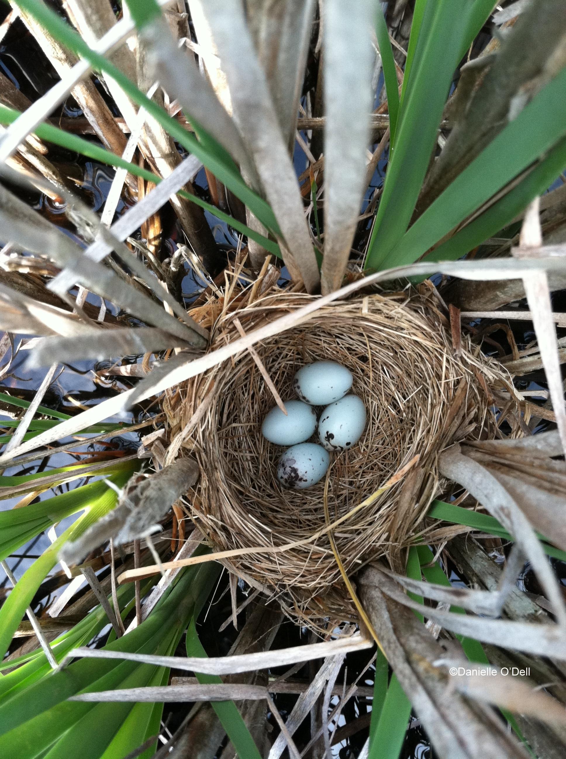Red-winged blackbird nest in a cattail marsh