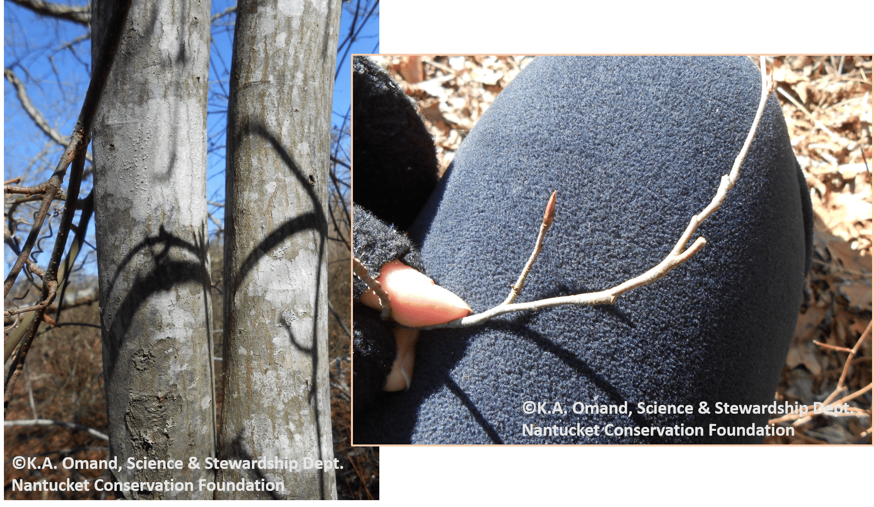 "A ""tree shadbush"" (Amelanchier sp.) at Squam--identified by the smooth gray lichen covered bark and narrow twisted buds."