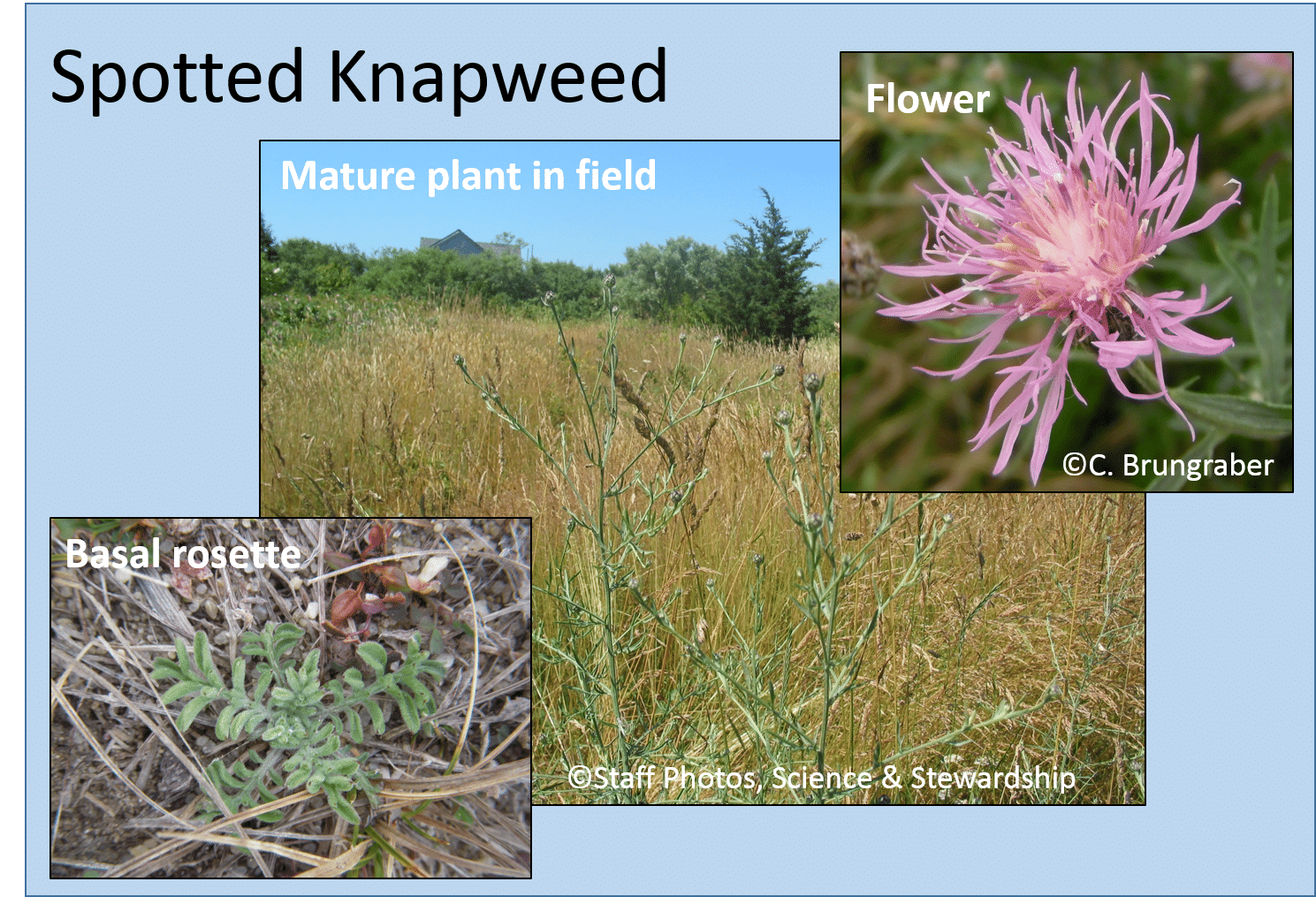 Spotted knapweed (Centaurea stoebe), a plant that can invade grasslands or dune habitats.