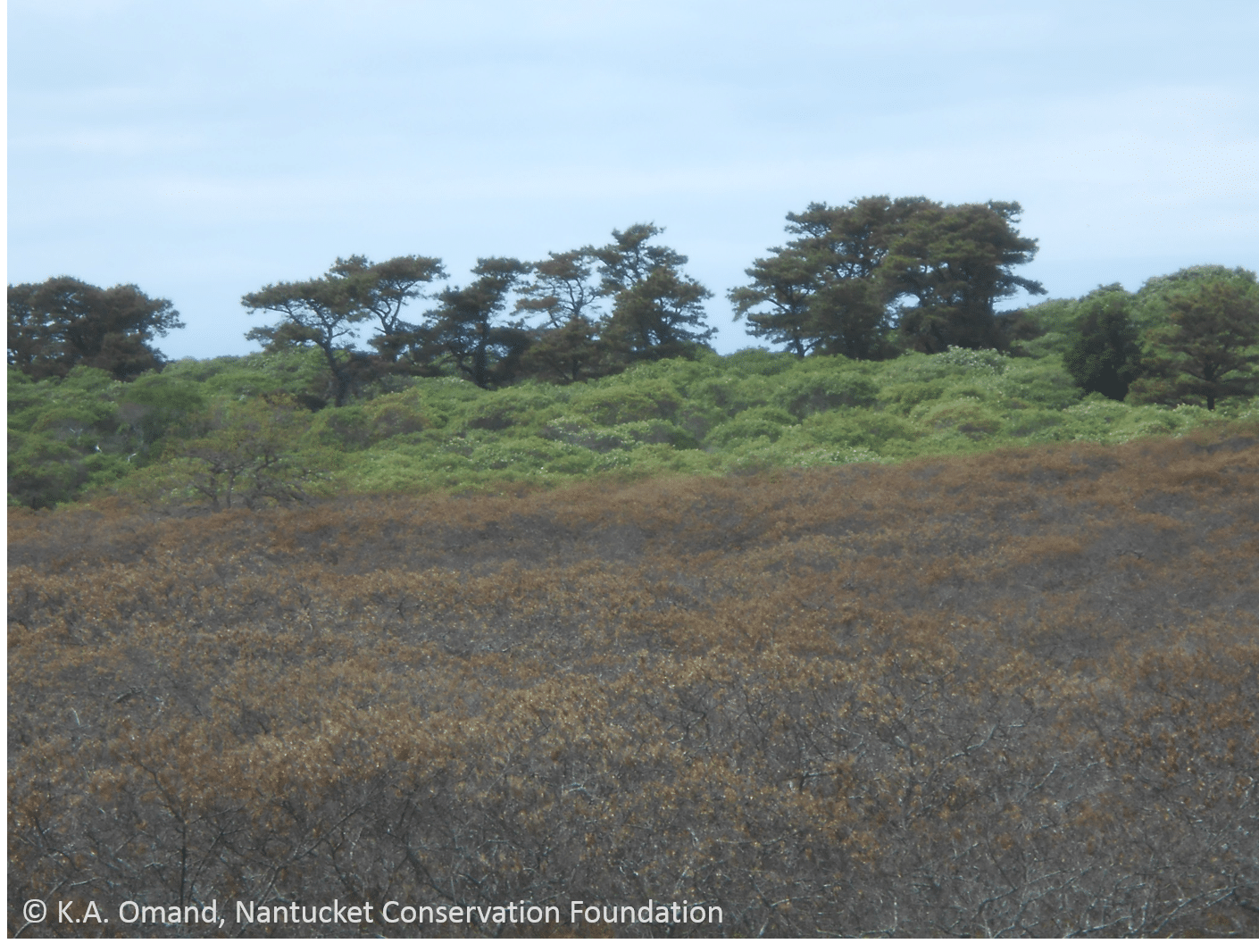 Close-up of the dividing line between frost-withered scrub oak and those with undamaged leaves.