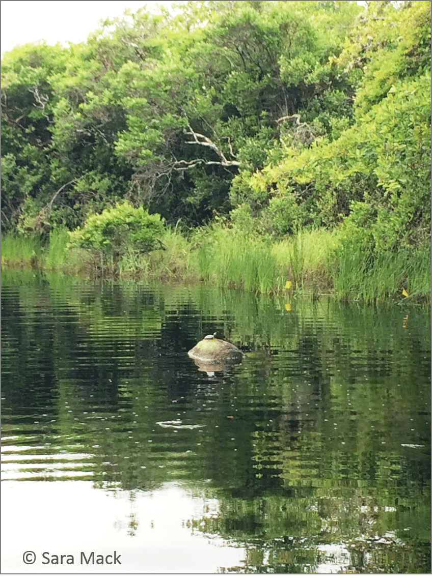 Almanack Pond and a painted turtle sunning itself on a rock.