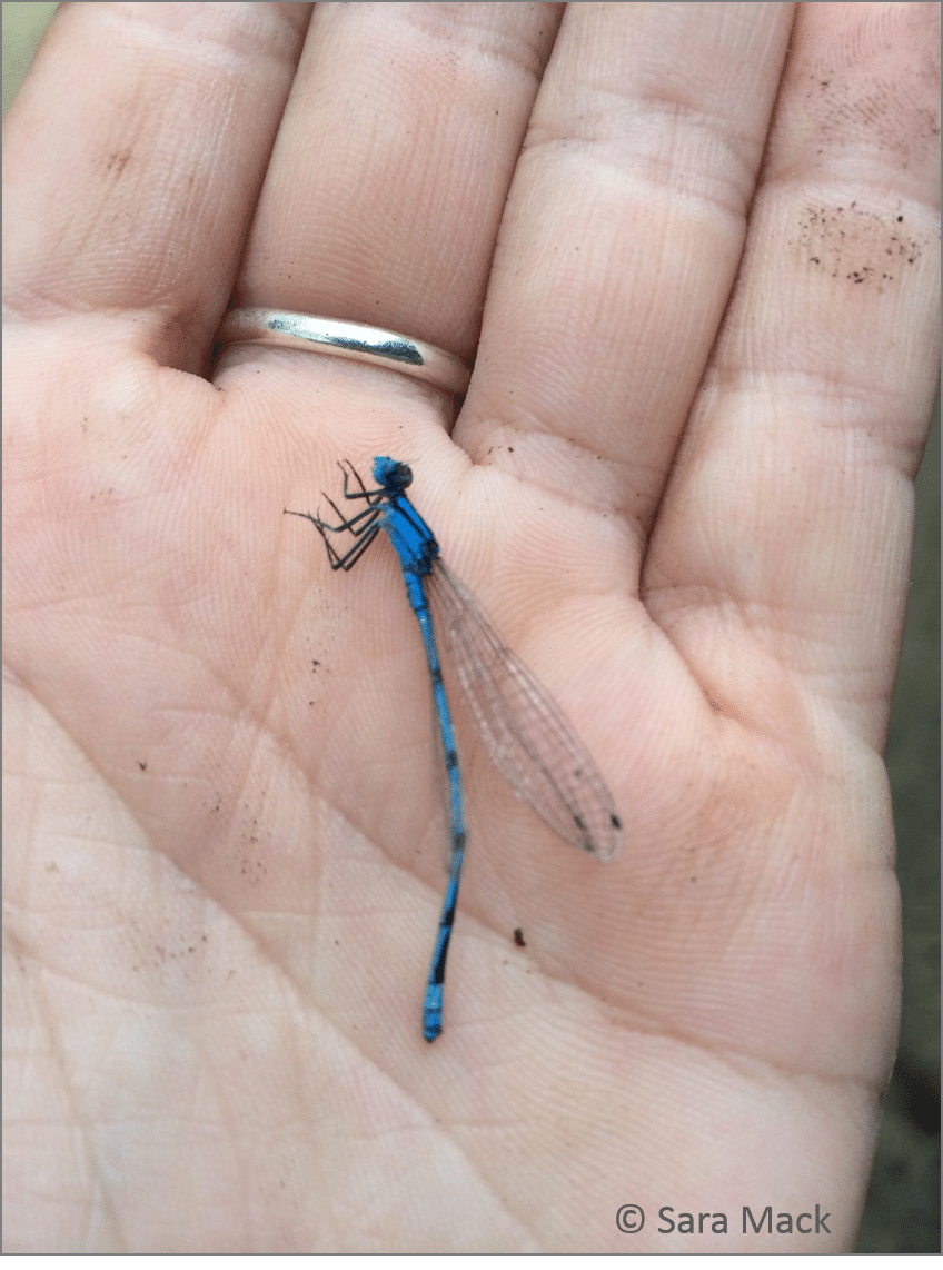 A blue darner found floating in the pond allows a close look at these fast flyers.