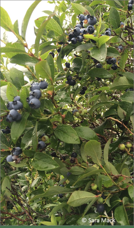 Highbush blueberries (Vaccinium corymbosum) growing on bushes around the pond.