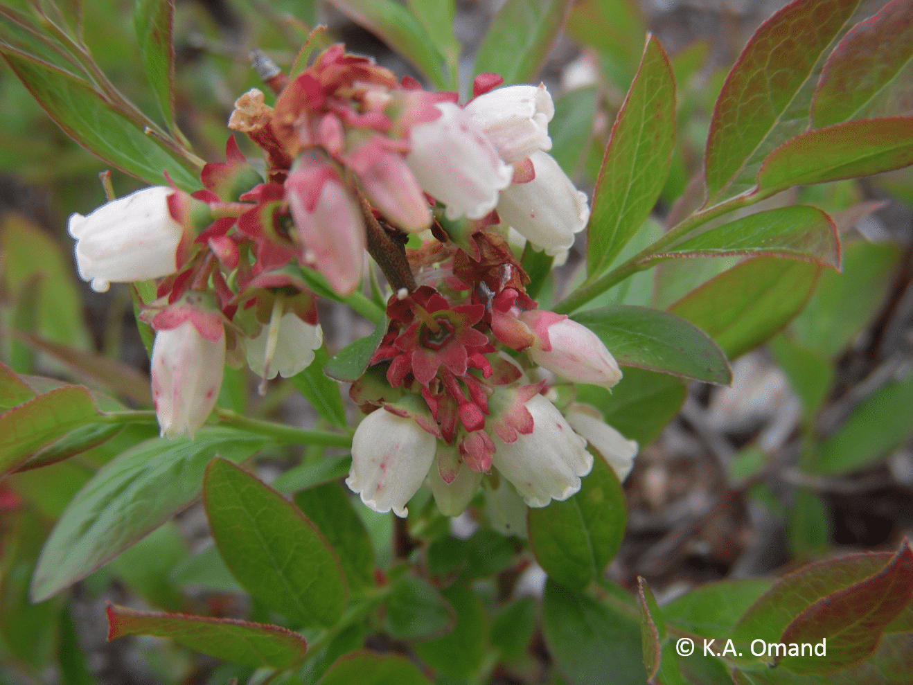 Bell-shaped flowers of lowbush blueberry, a related species of Vaccinium found in drier habitats.