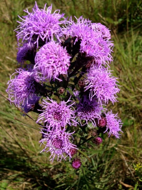 Northern Blazing Star (Liatris novae-angliae, Asteraceae) one of the rare plants seen at Tupancy Links