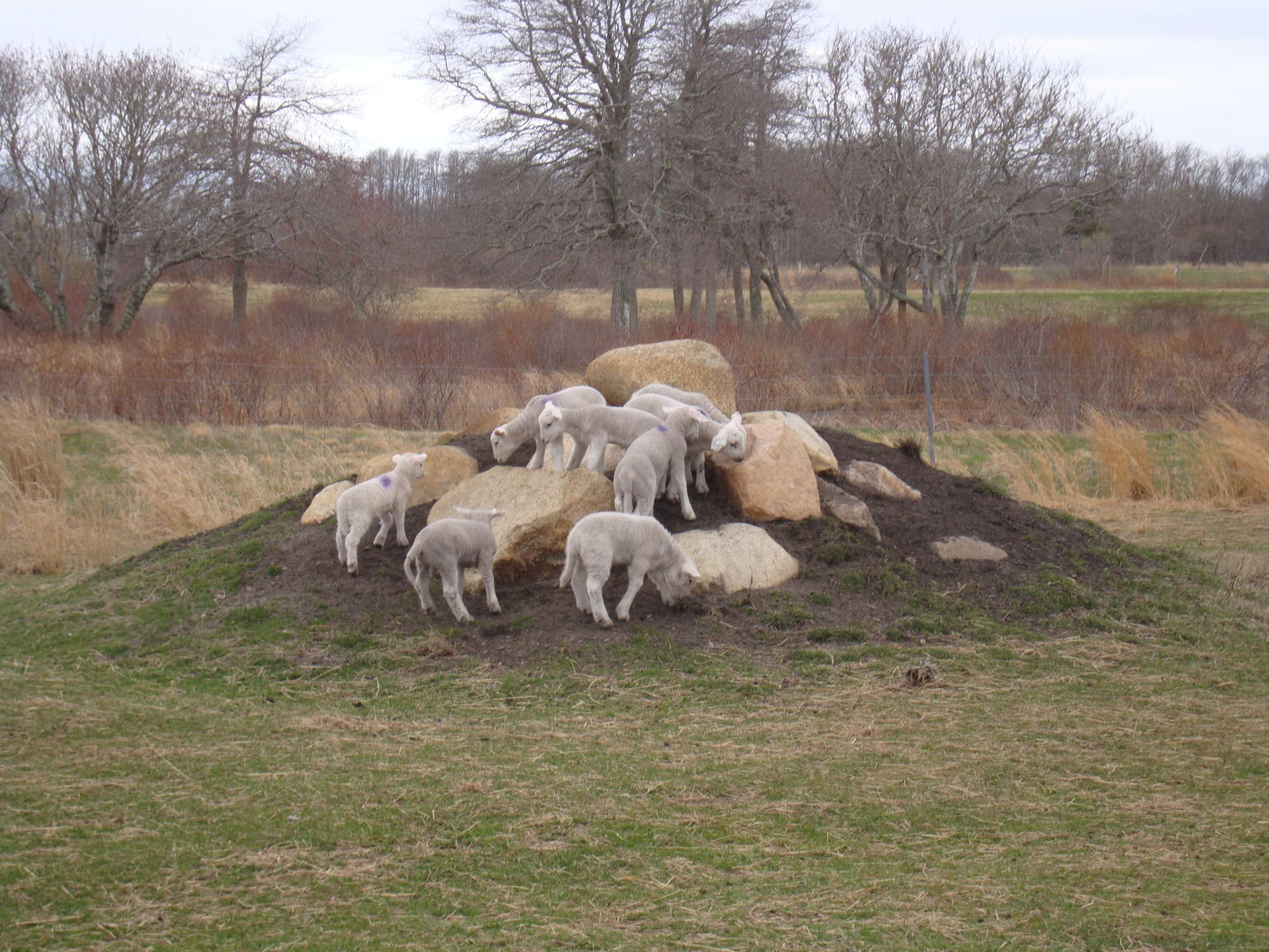 """Lamb Mountain"" at Squam Farm, where the NCF sheep roam."