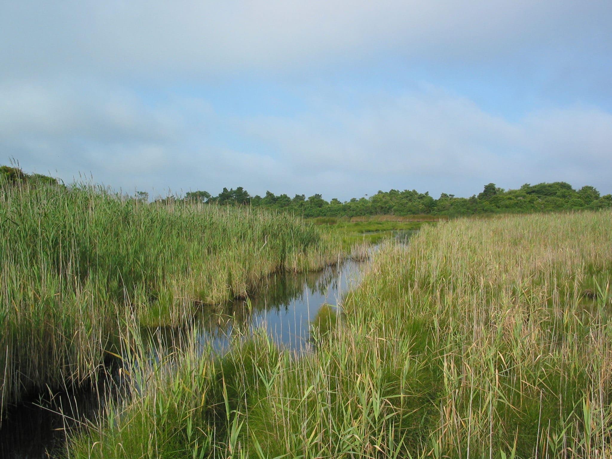 Medouie Creek, dominated by the non-native grass Phragmites australis