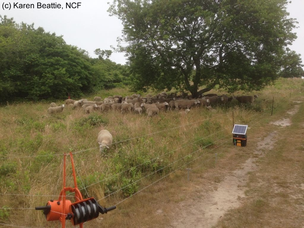 Sheep in Smart Fence July 3 2014 watermarked