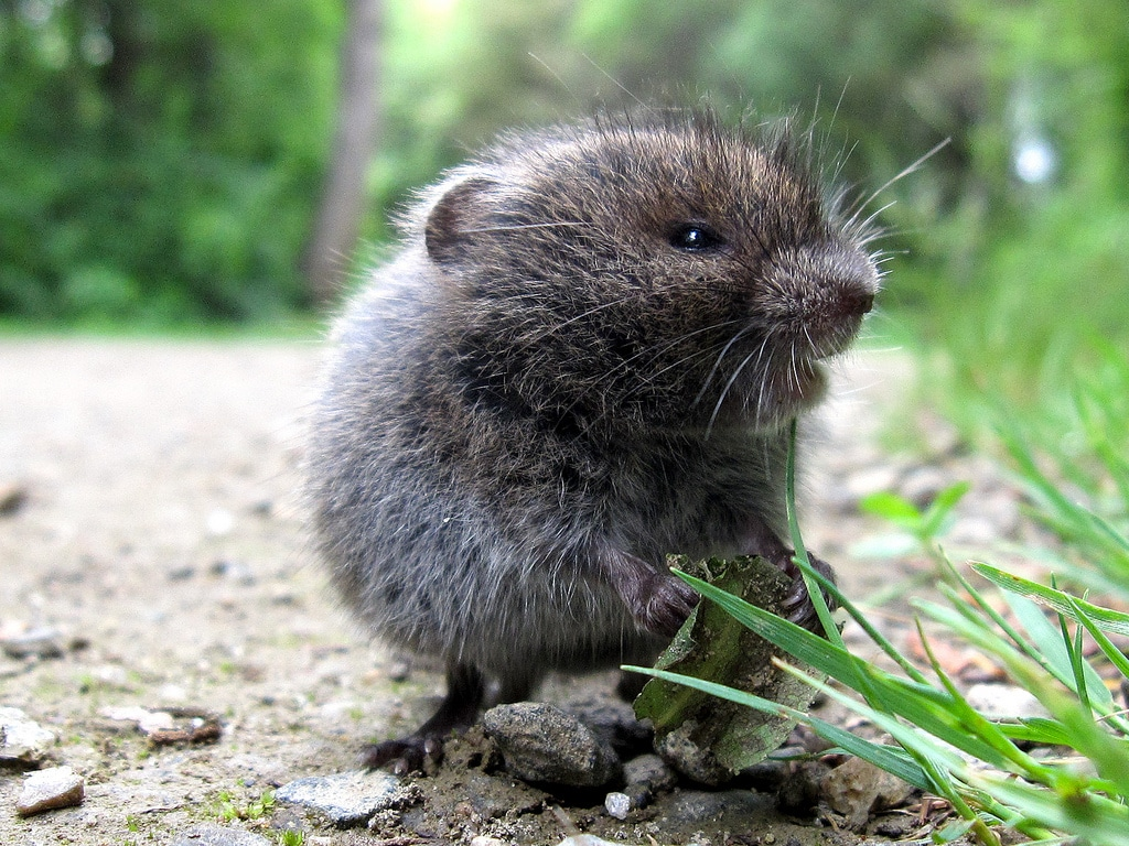 Meadow vole, photo credit: Leo Papandreou via CreativeCommons