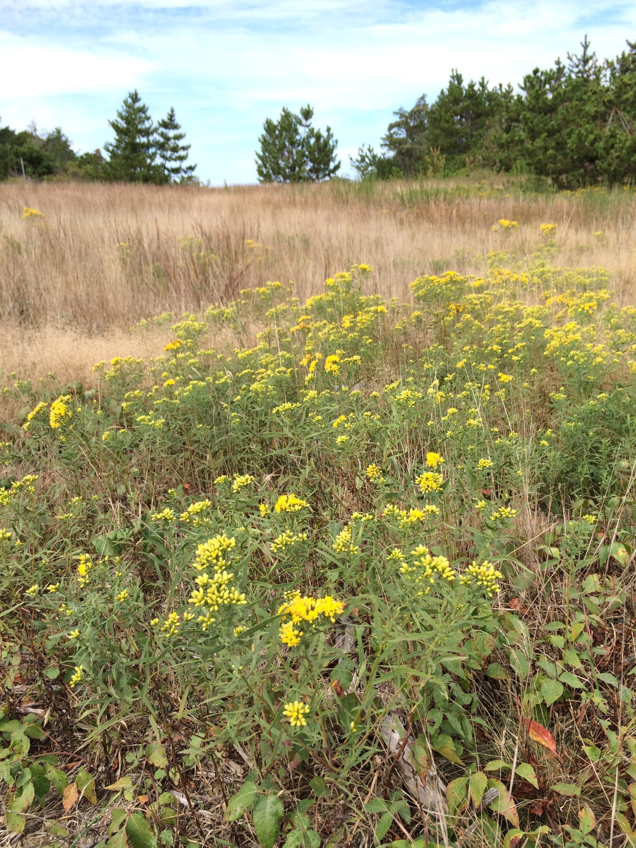 Field of flowering goldenrod and little bluestem grass at Tupancy Links.