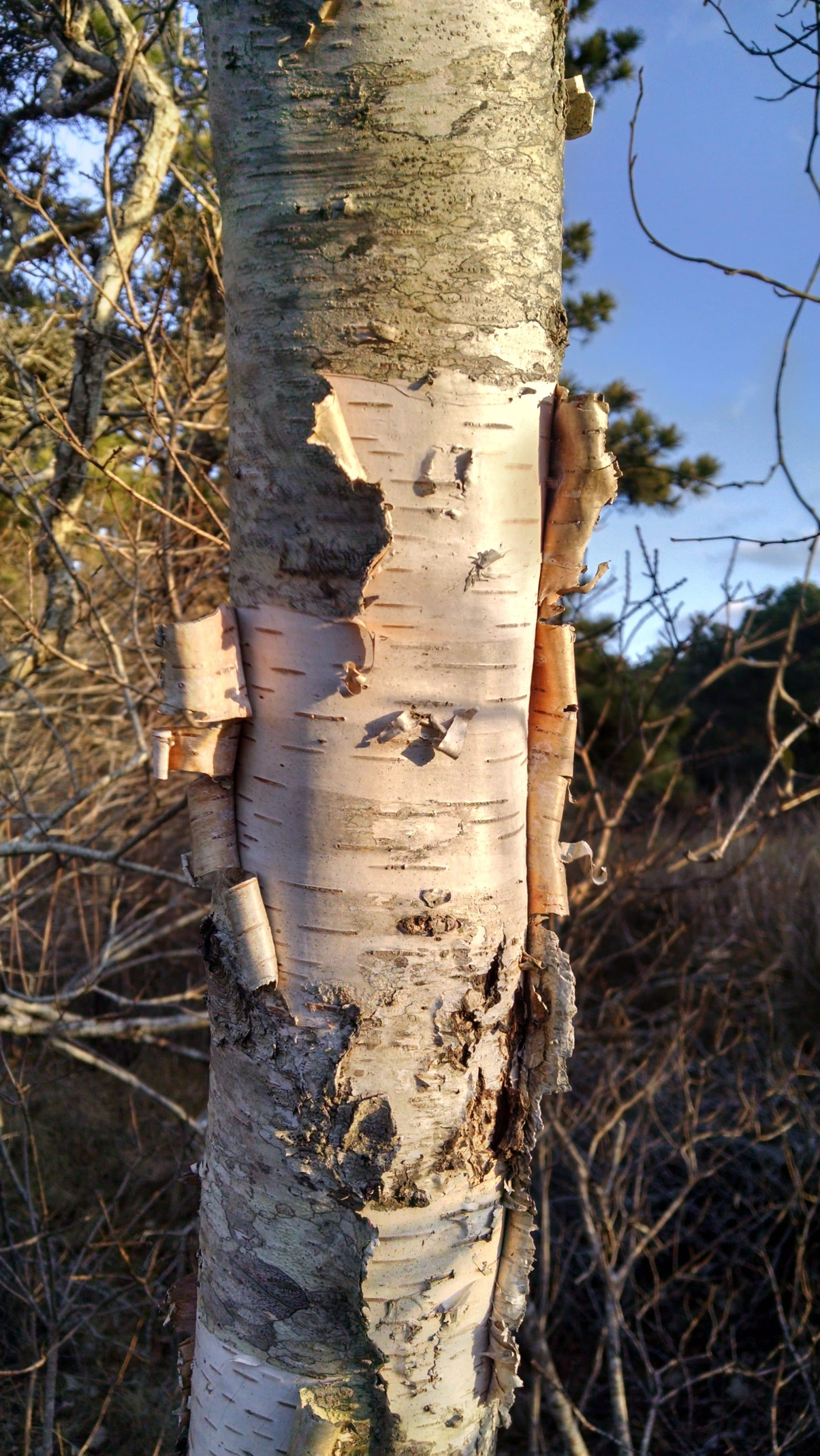 Paper birch (Betula papyrifera) on Nantucket? Maybe just one or two...
