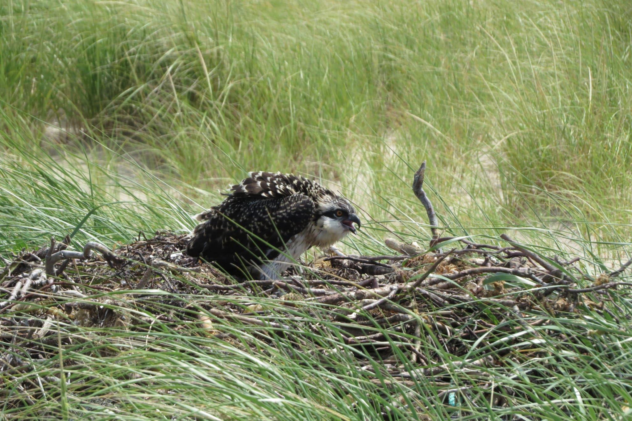 Eel Point Oprey Chick 2014