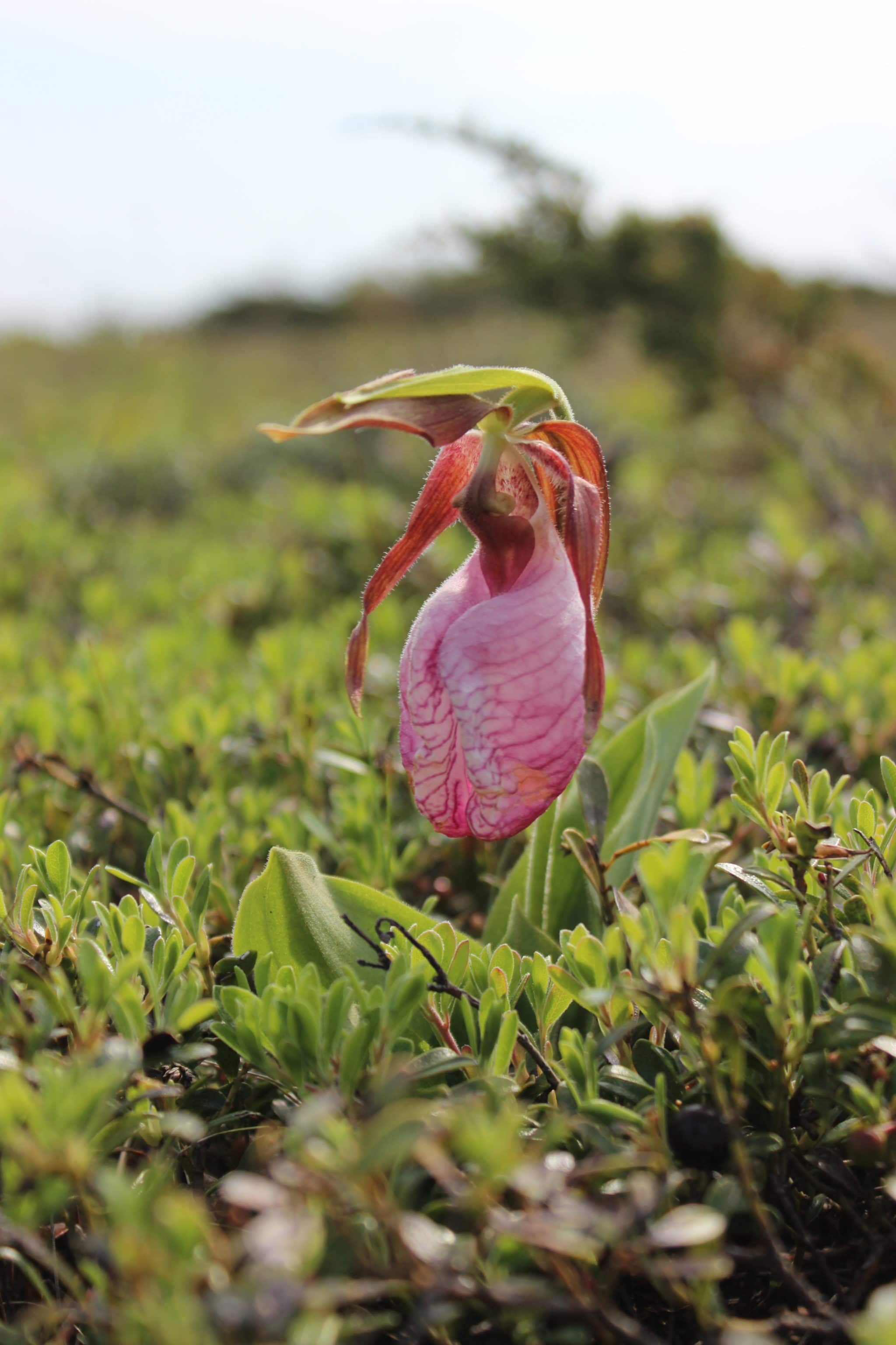 Pink lady's slipper (Cypripedium acaule) in flower on Coatue