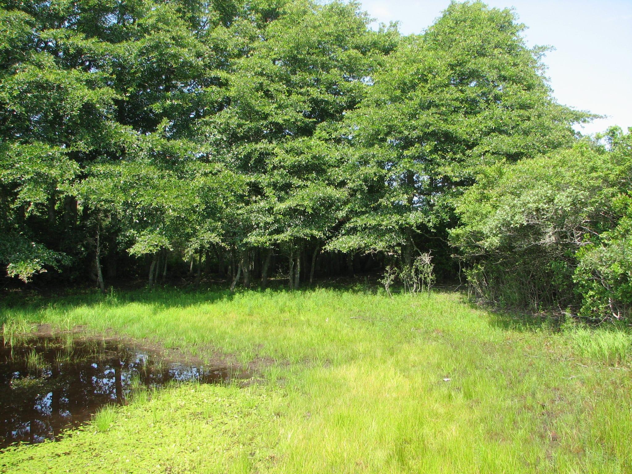 Almanac Pond with lower water levels and abundant coastal plain pondshore vegetation.