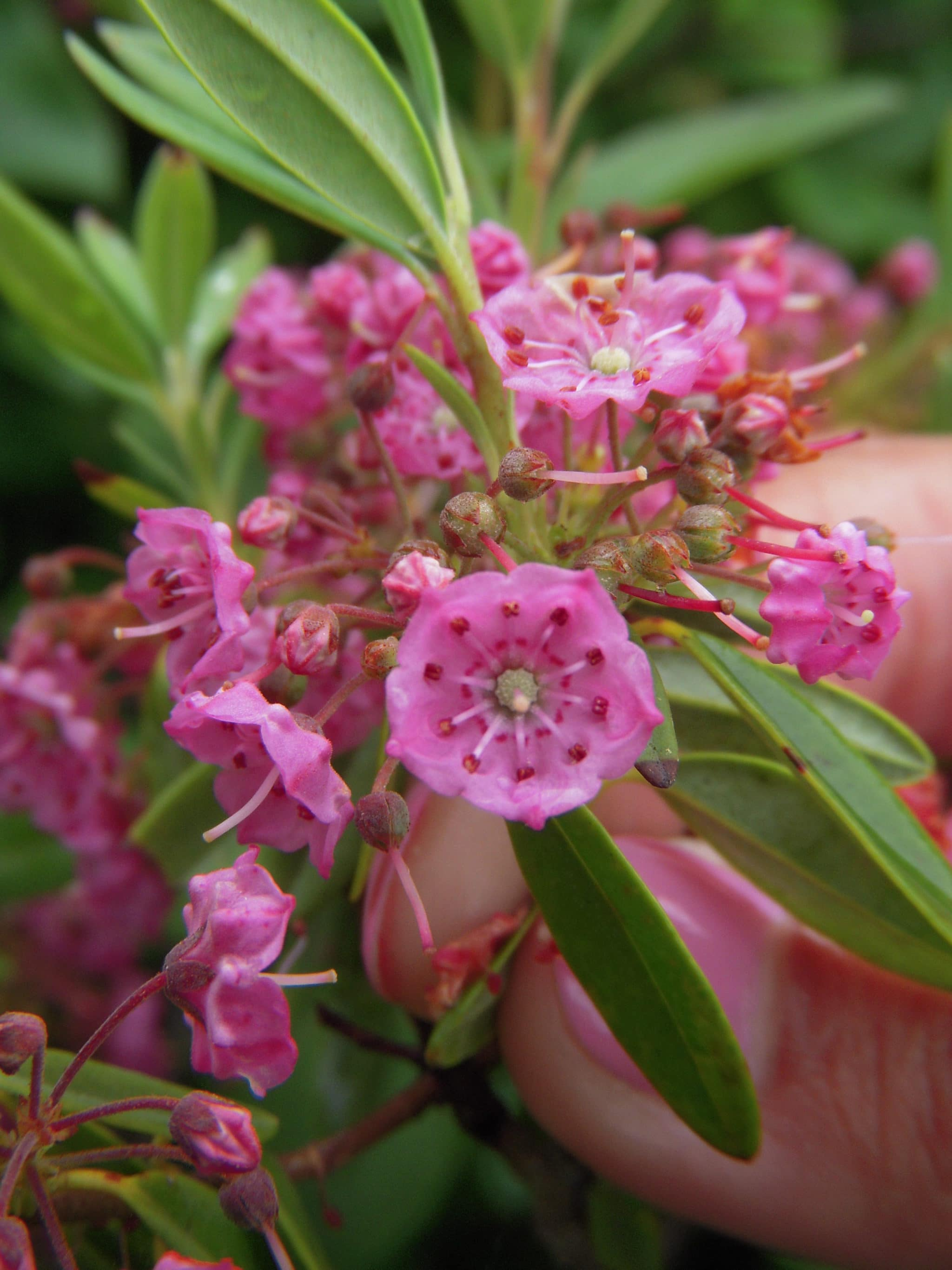 Mountain Laurel NCF