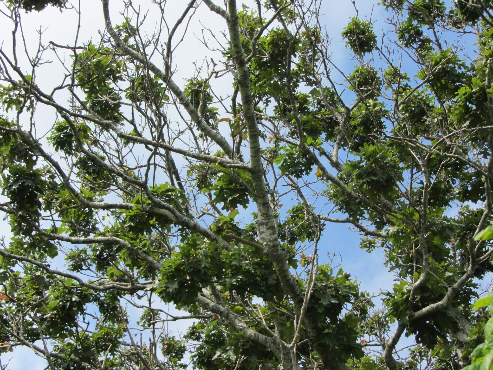 2. Black Oak Canopy Gall Wasp Damage