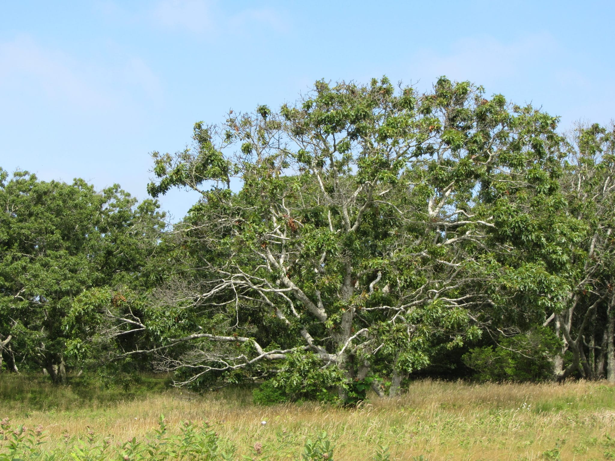 3. Black Oak with Gall Wasp Damage