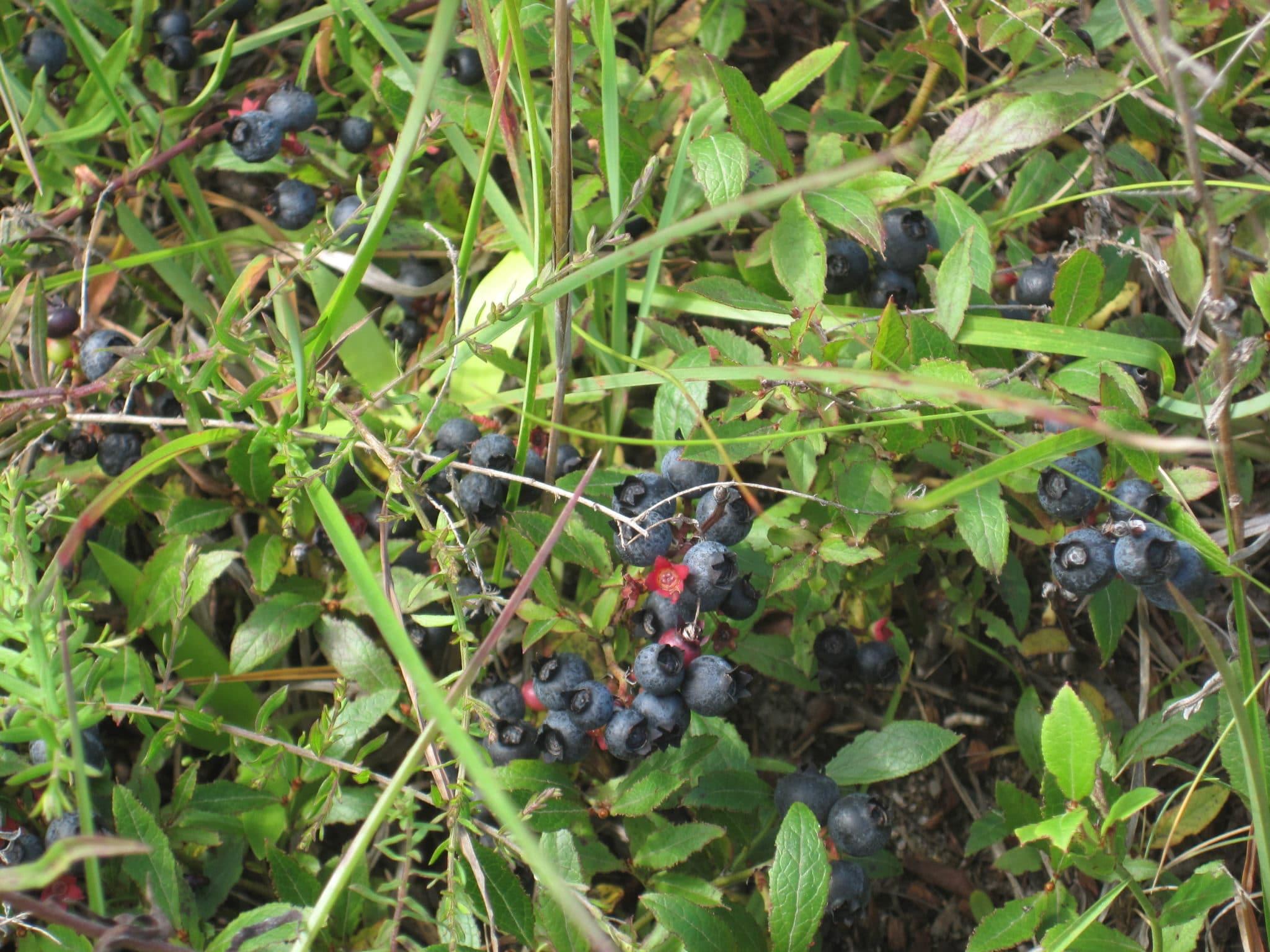 Common Lowbush Blueberry fruits by JPK