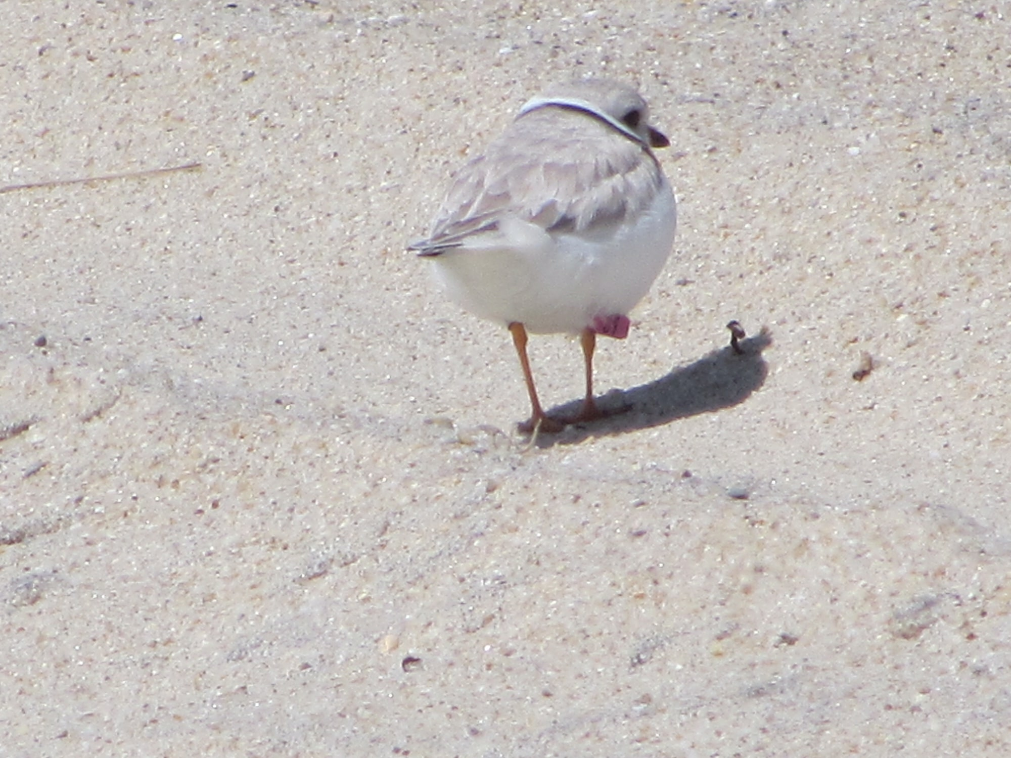 Pink Banded Plover Western Ave 2015 by Edie Ray
