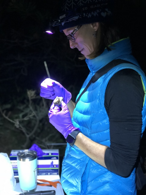 Danielle O'Dell attached radio transmitters to 9 Northern long-eared bats in late fall 2018