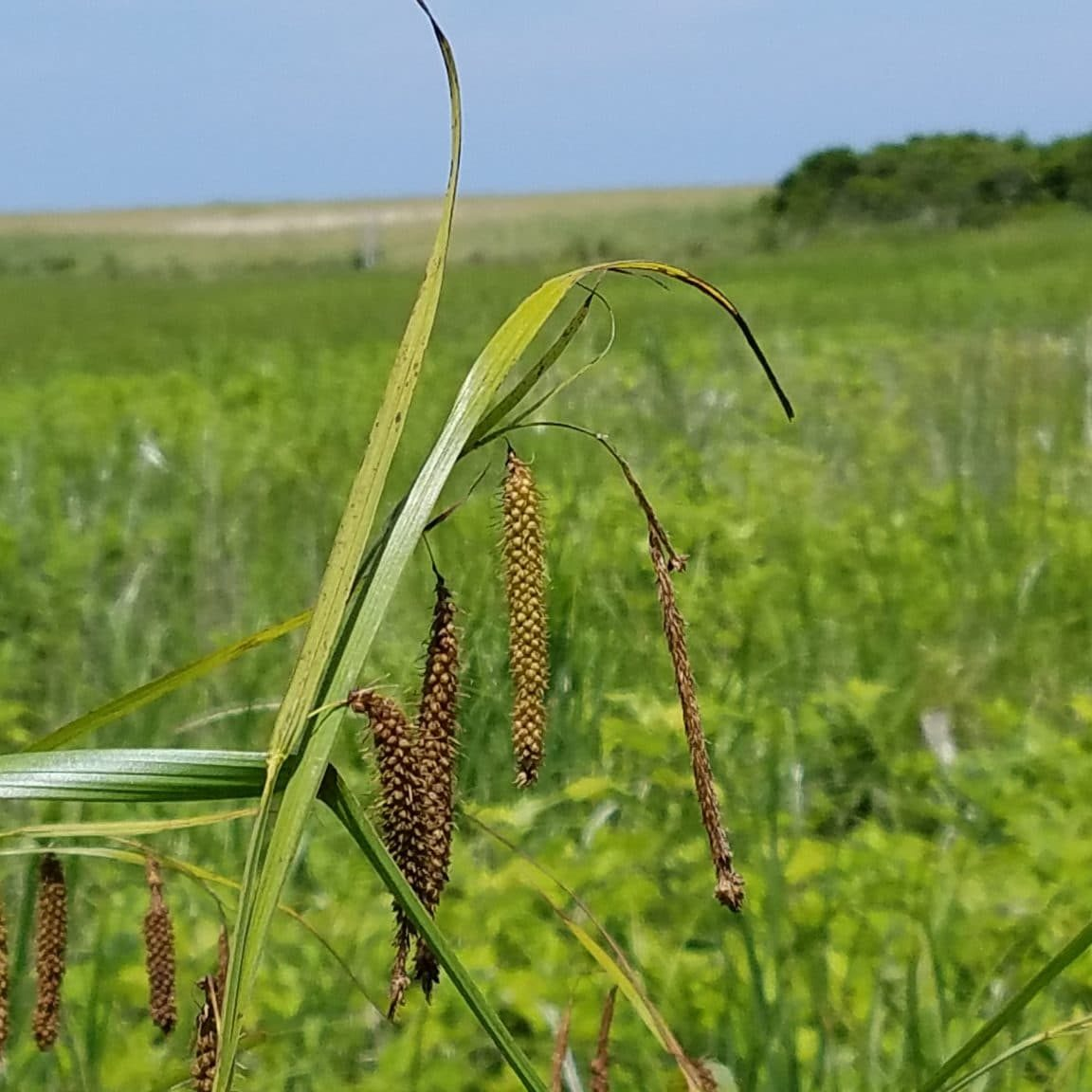 Fringed sedge <em>(Carex crinita)</em> - rare on Nantucket and last observed in 1908 by Bicknell