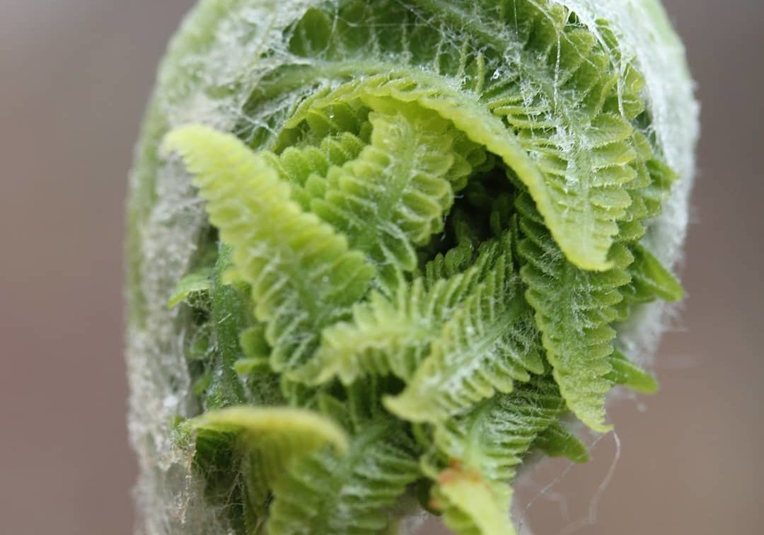 Up close and personal with a Cinnamon Fern Fiddlehead