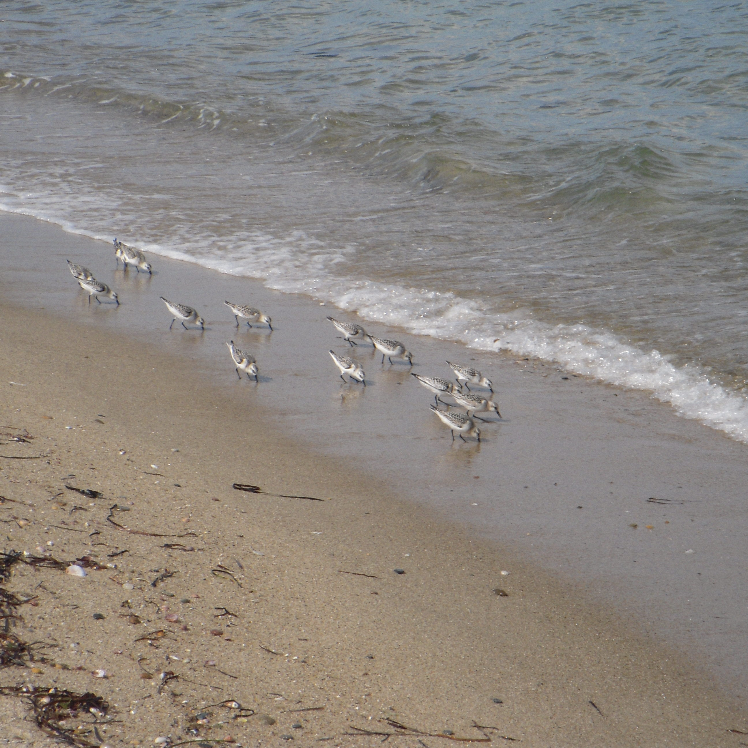 Sanderlings <em>(Calidris alba)</em>