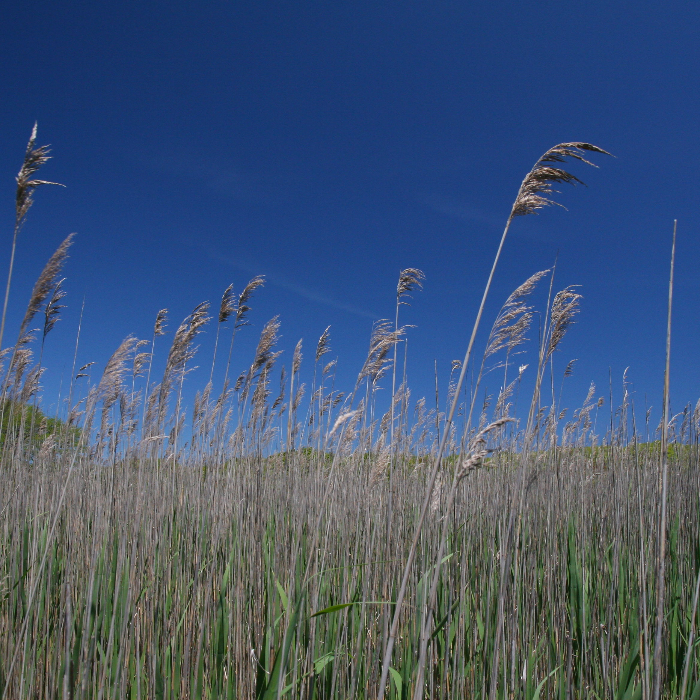 Common reed <em>(Phragmites australis)</em>