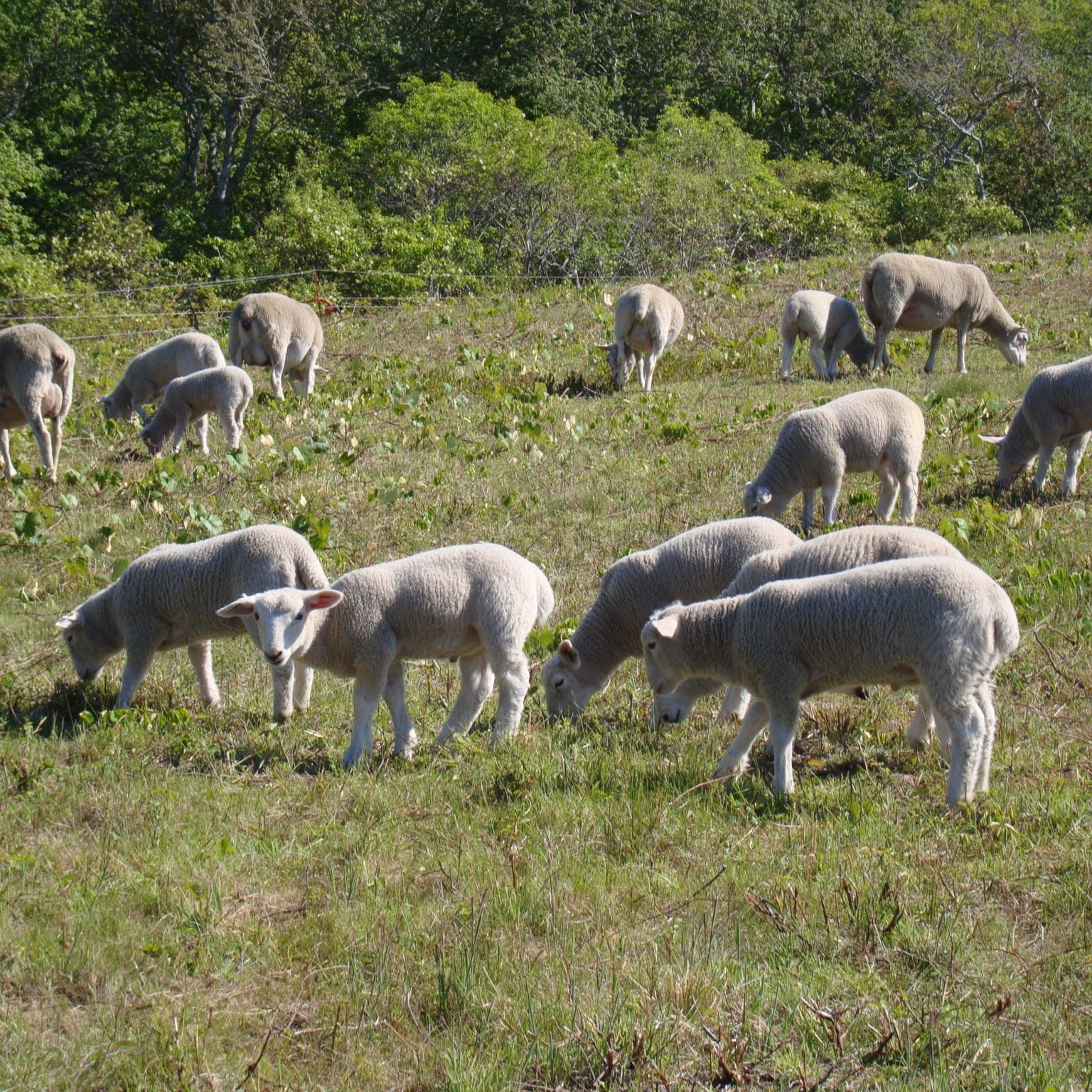 Sheep And Lambs June 2014 069