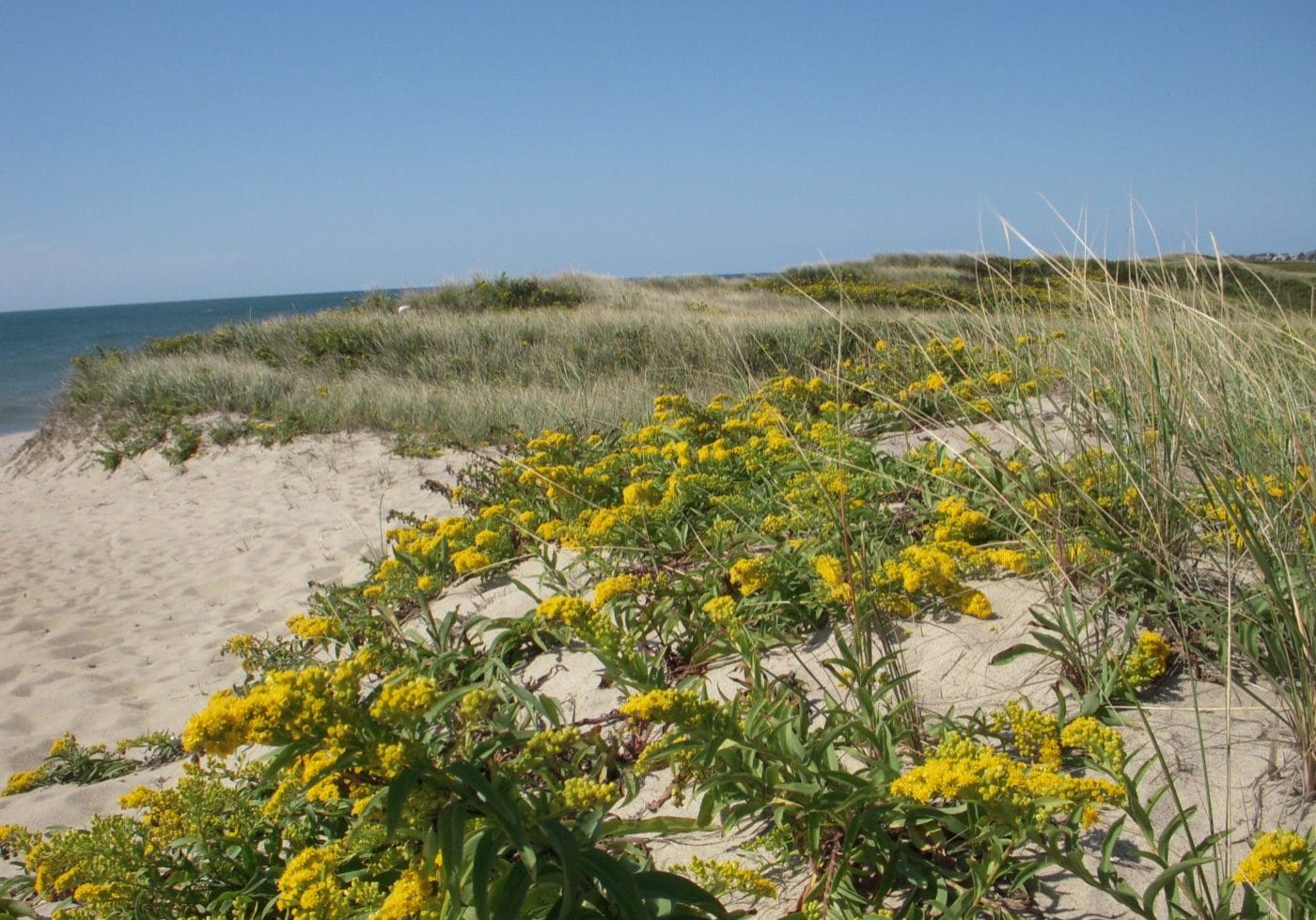 Solidago Sempervirens At The Beach