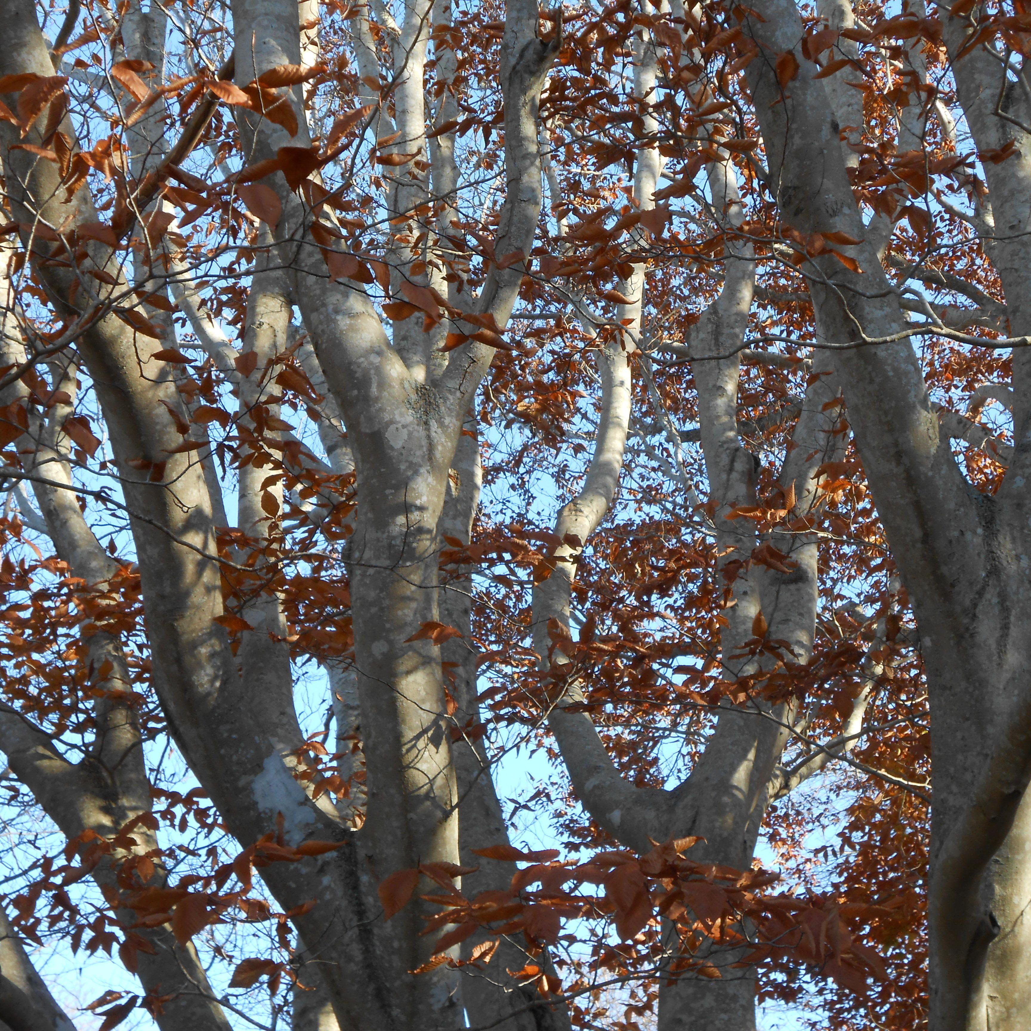 American beech <em> (Fagus grandifolia) </em>