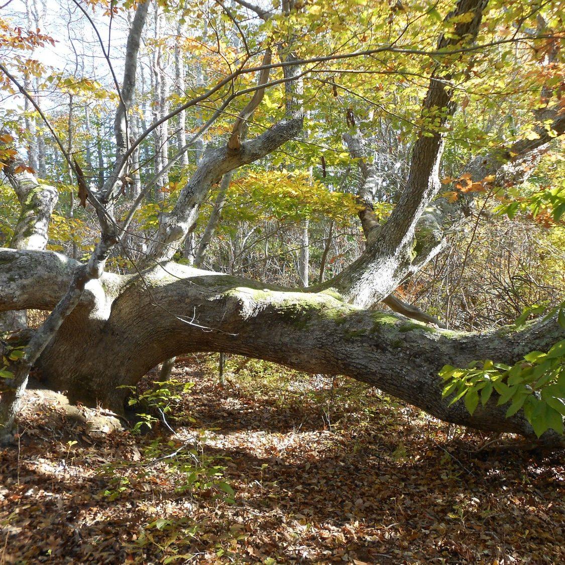 White oak  <em>(Quercus alba) </em>