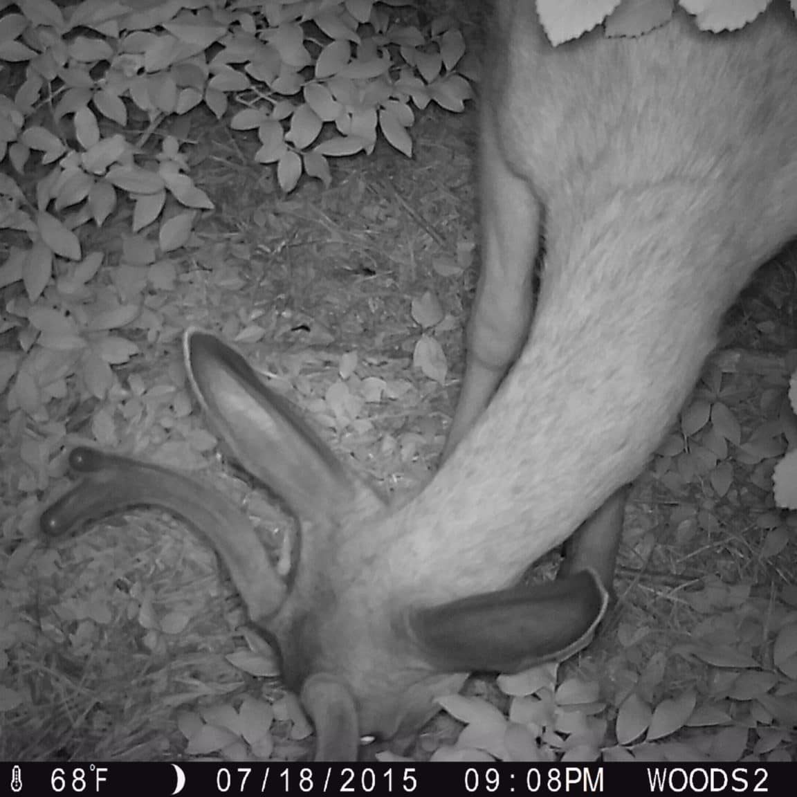 A white-taiiled deer caught on a camera trap