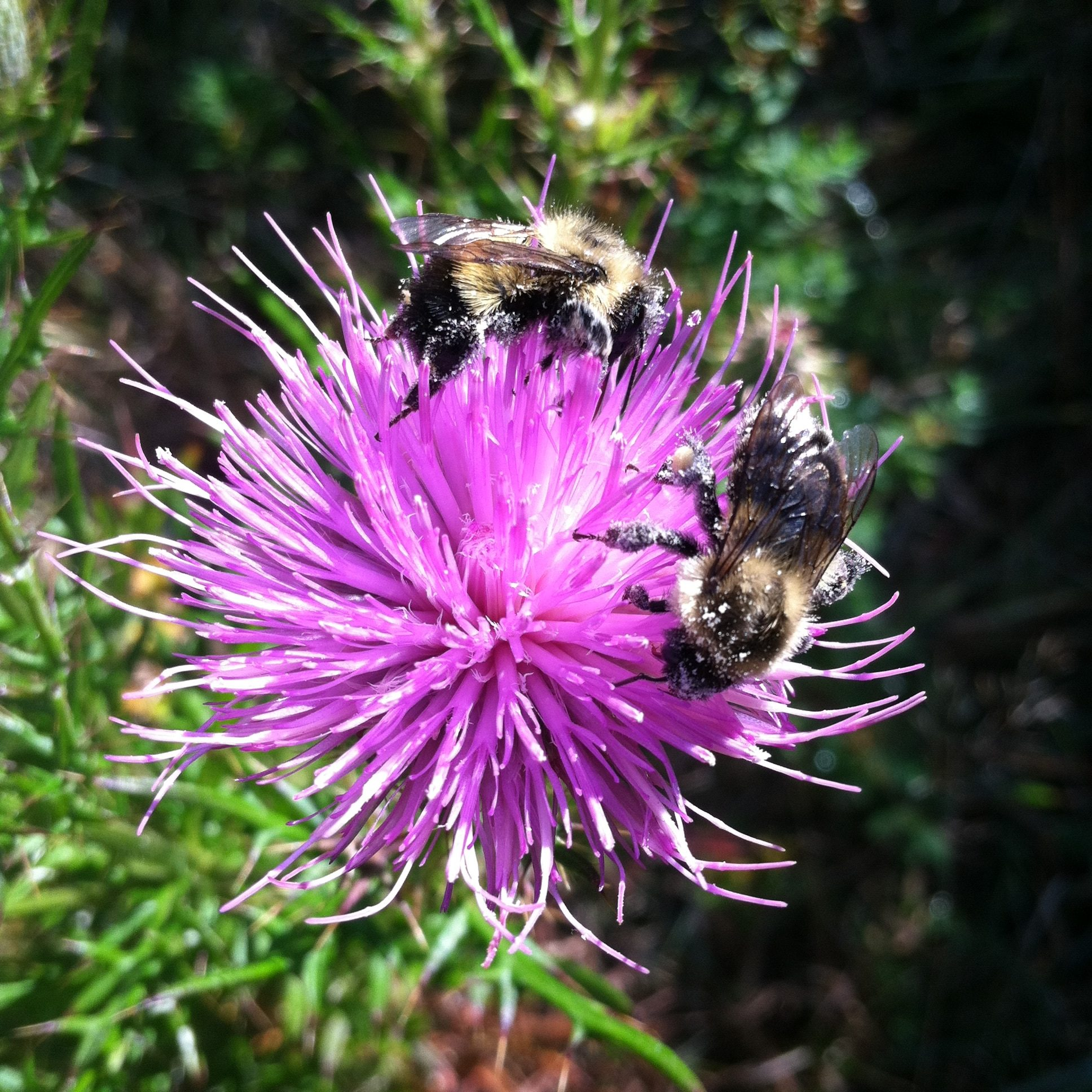 Cirsium And Bumbles3