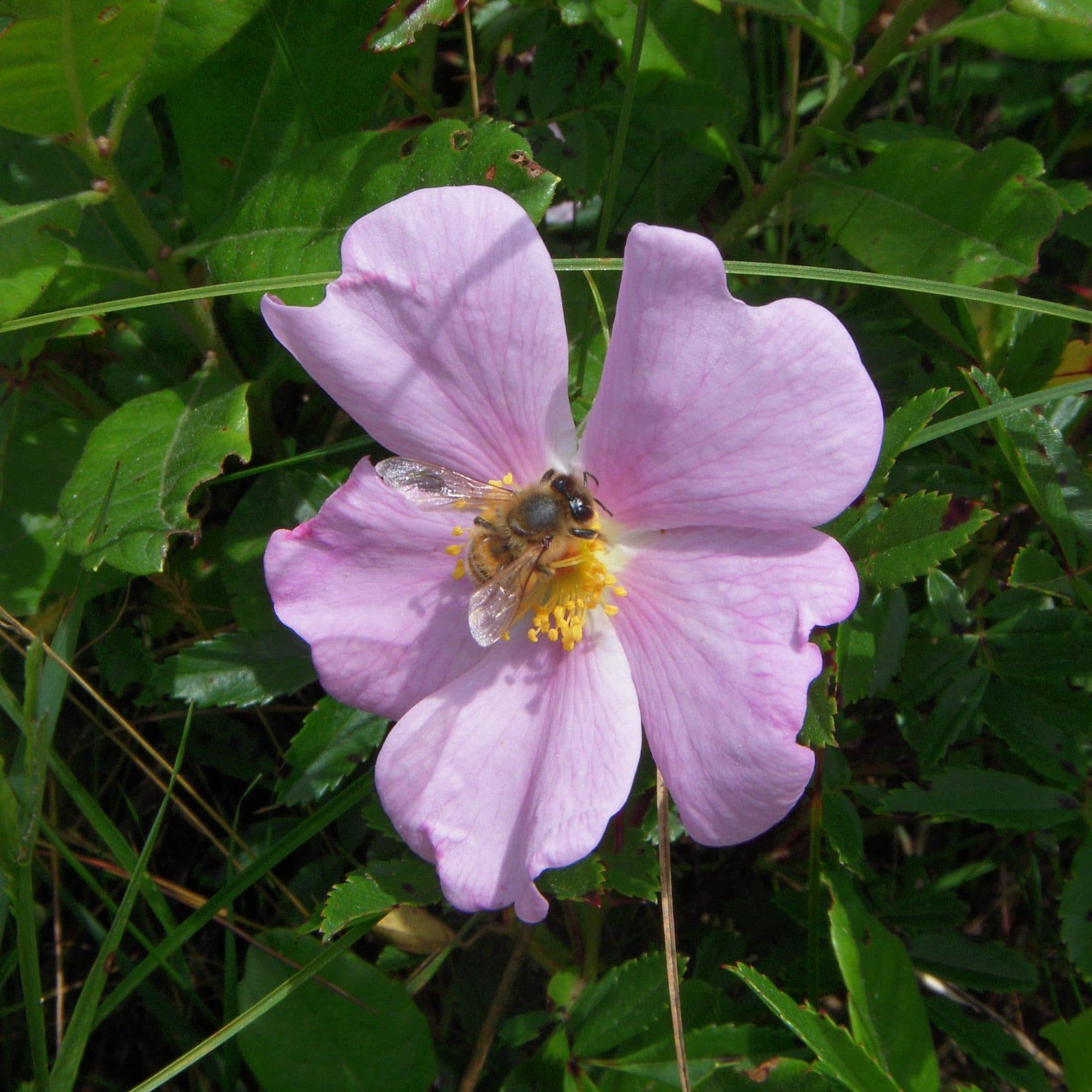 Honey Bee And ROSVIR
